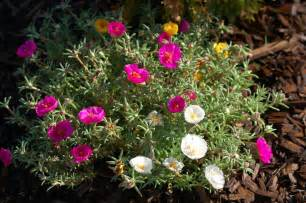 both wanted offering offering rose moss or moss rose