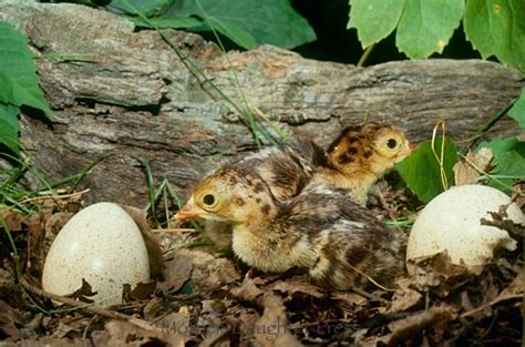 how to hatch wild turkey eggs with pictures ehow turkey poults ferrebeekeeper