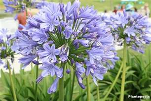 the lily of the nile flower agapanthus plant how to grow and care plantopedia