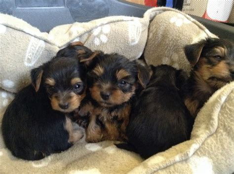 yorkie puppies for sale in philadelphia teacup yorkie puppies for homes puppies for sale dogs for sale breeds picture