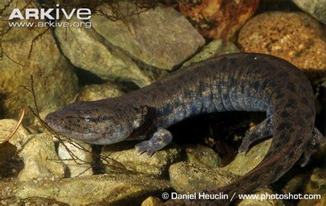 mudd puppy common mudpuppy photo necturus maculosus g136638 arkive