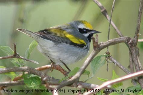 top 28 types of warbler birds new warbler bird species