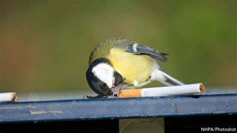 some birds use discarded cigarettes to fumigate their nests