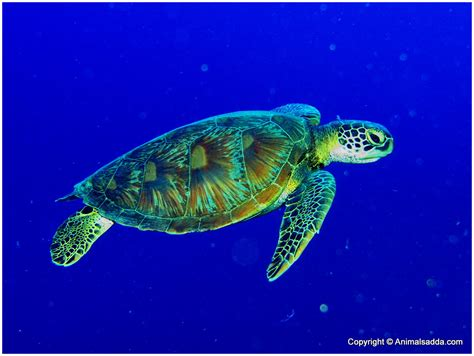 The Green green turtle facts for pictures diet habitat