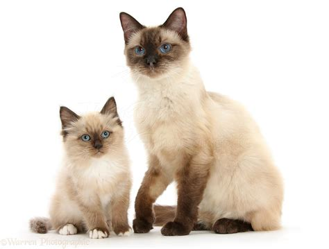 and kitten birman cross cat and kitten photo wp30908