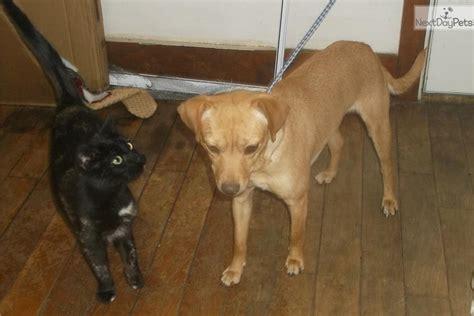 mountain feist puppies mountain feist puppy for adoption near springfield missouri b84b5223 4272