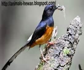 Hewan Murai Batu cara menambah nafsu makan burung murai batu dunia binatang