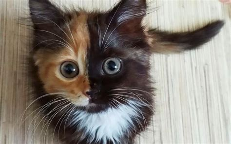 Mycybertwin Chats For You The Human Race Becomes Unneccessary by Meet The Charming Two Faced Cat Taking The By