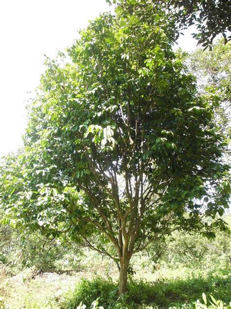 Bibit Pohon Duku Palembang harga bibit duku palembang jual bibit tanaman dan buah