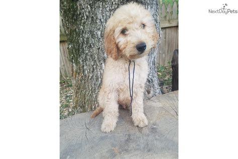 goldendoodle puppy nashville tn boy black goldendoodle puppy for sale near nashville