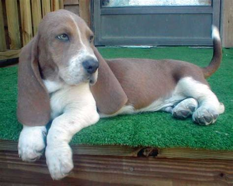 miniature basset hound puppies baby basset hound photo this photo was uploaded by willowrootfaery find other baby