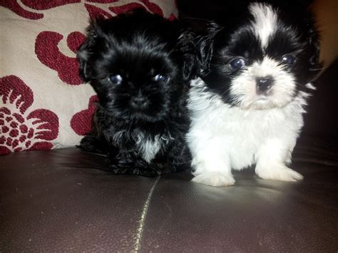 shih tzu puppies for sale west midlands shih tzu puppies for sale coventry west midlands pets4homes