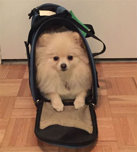 boo pomeranian owner 10 things only a pomeranian owner would understand american kennel club