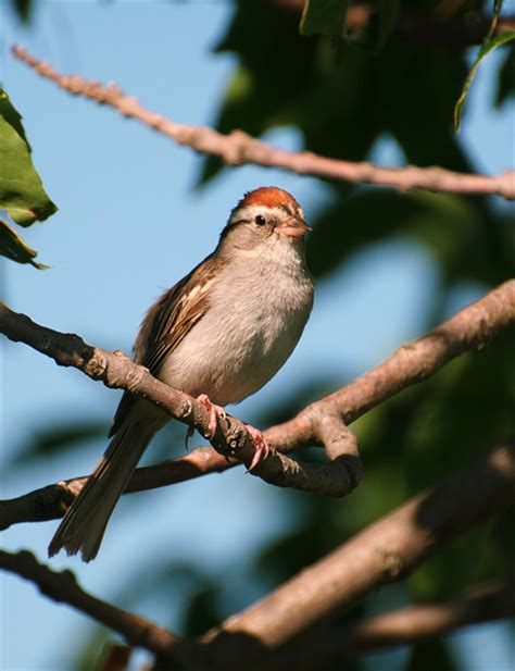 chipping sparrow taken on july 16 2010 in rural stearns