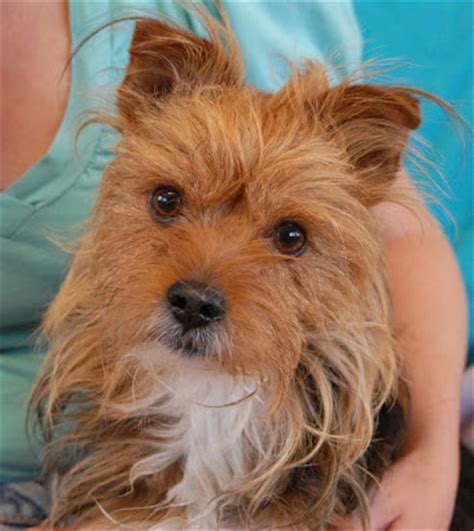 yorkie animal rescue terrier rescue and adoption adopt a terrier breeds picture