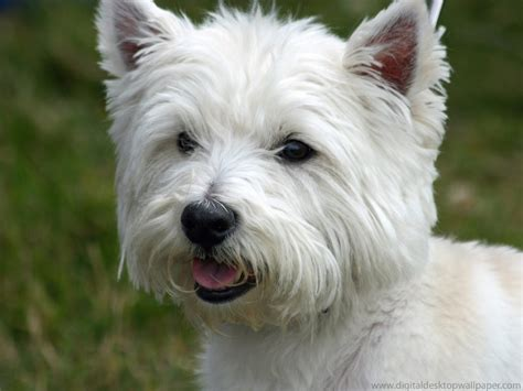 westie puppies top 10 breeds with to no shedding