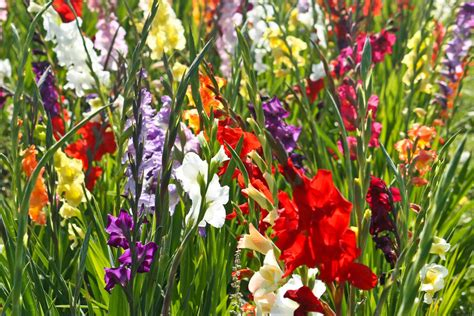 Gladiolen In Der Vase by Gladiolen Hilfreiche Tipps Zum Einpflanzen Schneiden