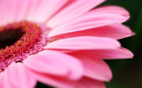 fiore rosa sfondo quot fiore rosa quot 1680 x 1050 natura fiori fulmini