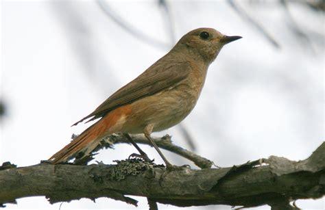 fuglevennskap dagens fugl  rodstjert