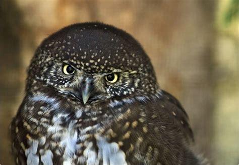 mammiferi volanti rapaci notturni italiani foto delle specie pi 249 diffuse 6