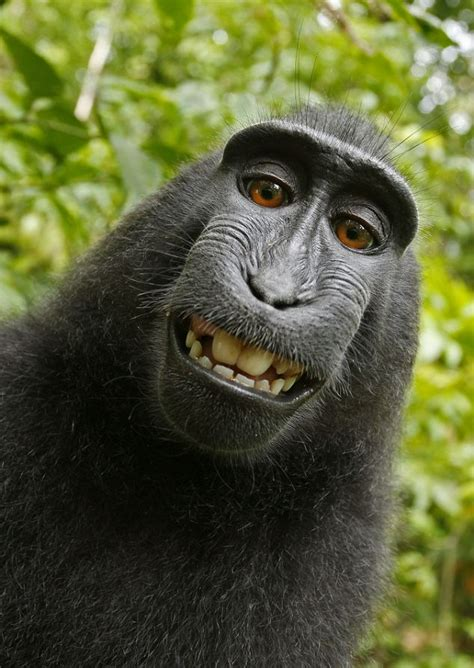 black monkey black macaque takes self portrait monkey borrows