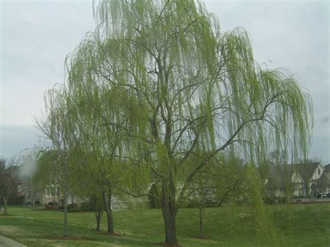 of willow willow trees so beautiful on weeping willow