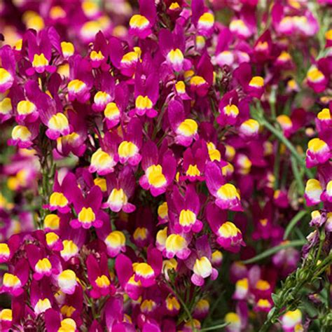 annual toadflax