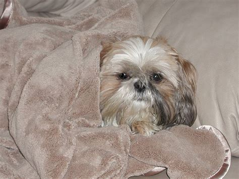 shih tzu symptoms do shih tzu get cancer 1001doggy