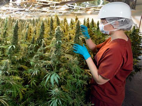 medical marijuana production  canada set  dramatic