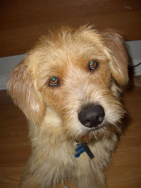 benji breed 121 best images about mixed breed animals on cat breeds afghan hound and