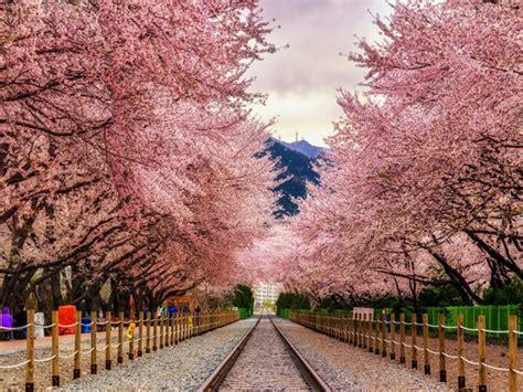 bagai bunga bermekaran wisata romantis di festival cherry blossom jinhae korea
