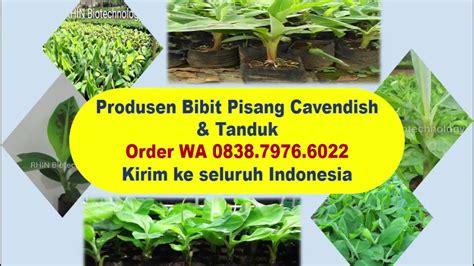 Jual Bibit Pisang Cavendish Kalimantan wa 0838 7976 6022 distributor bibit pisang cavendish