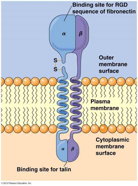 carbohydrates function in cell membrane glycoprotein function in cell membrane medicinebtg