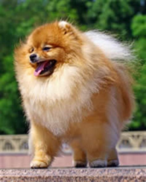 origin of pomeranian pomeranian breed history temperament care more dogs and advice