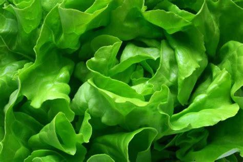 imagenes lechugas verdes sałata na ż 243 łtaczkę fresh market pl