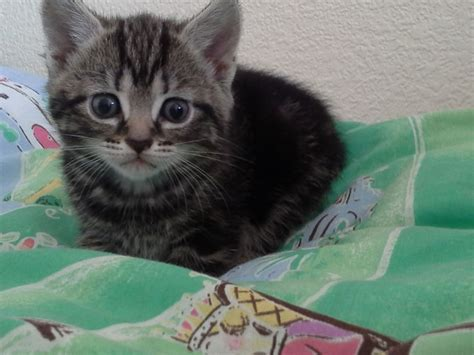 cats for sale plymouth beautiful silver tabby kittens plymouth pets4homes