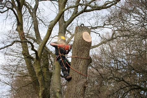 cut down your own tree in md tree surgeons arborists dorking epsom reigate myers tree services