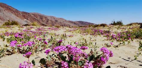 anza borrego desert flowers wildflowers in anza borrego desert state park glenna