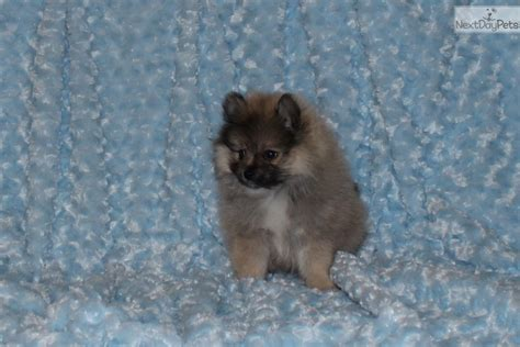 pomeranian for sale in dallas pomeranian puppy for sale near dallas fort worth ed883ad7 9c31