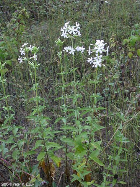 saponaria officinalis bouncing bet minnesota wildflowers