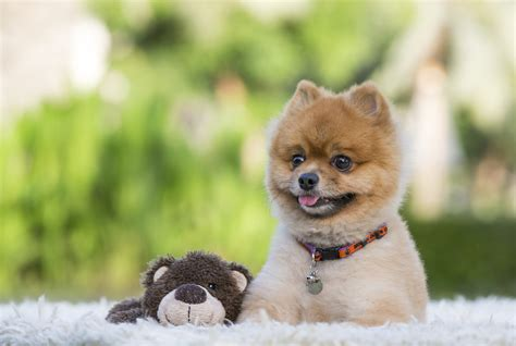pomeranian teddy teddy pomeranian the that surely melts your