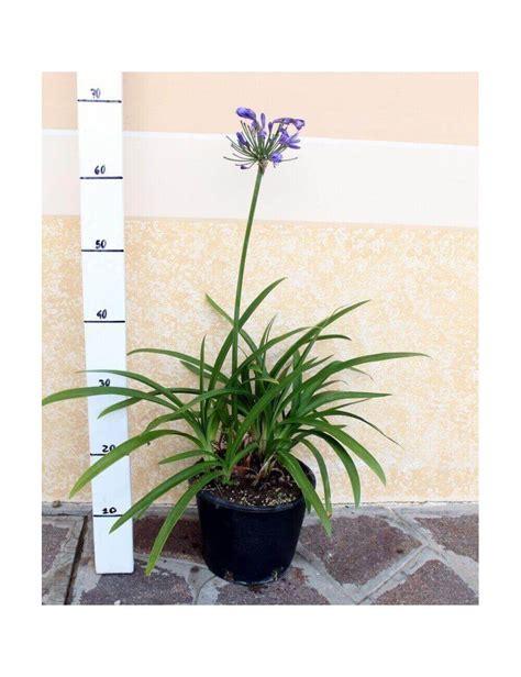 fiore agapanthus agapanthus africanus azureum vendita piante on line
