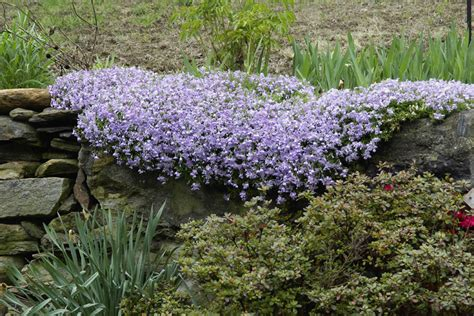 how to transplant ground cover plants ehow uk