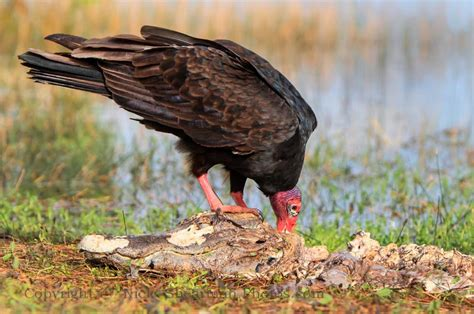 turkey vulture black headed vulture shilohs wildlife