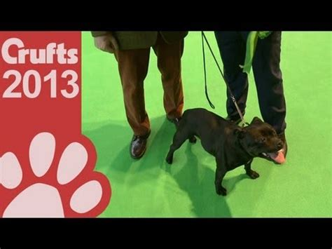 best breed of staffordshire bull terrier best of breed crufts 2013