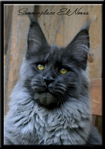 summerplace maine coon cats