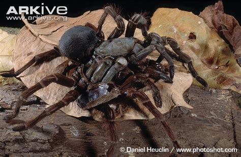 the history of the world in bite sized chunks books huntsman spider vs goliath birdeater www pixshark