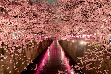 trees in japan when to see japan s cherry blossom trees in bloom