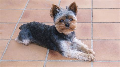mini yorkie miniature yorkie terrier breeds picture