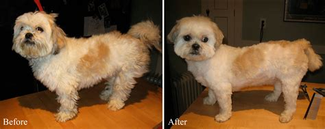 shih tzu haircuts before and after photos morkie summer haircuts newhairstylesformen2014 com